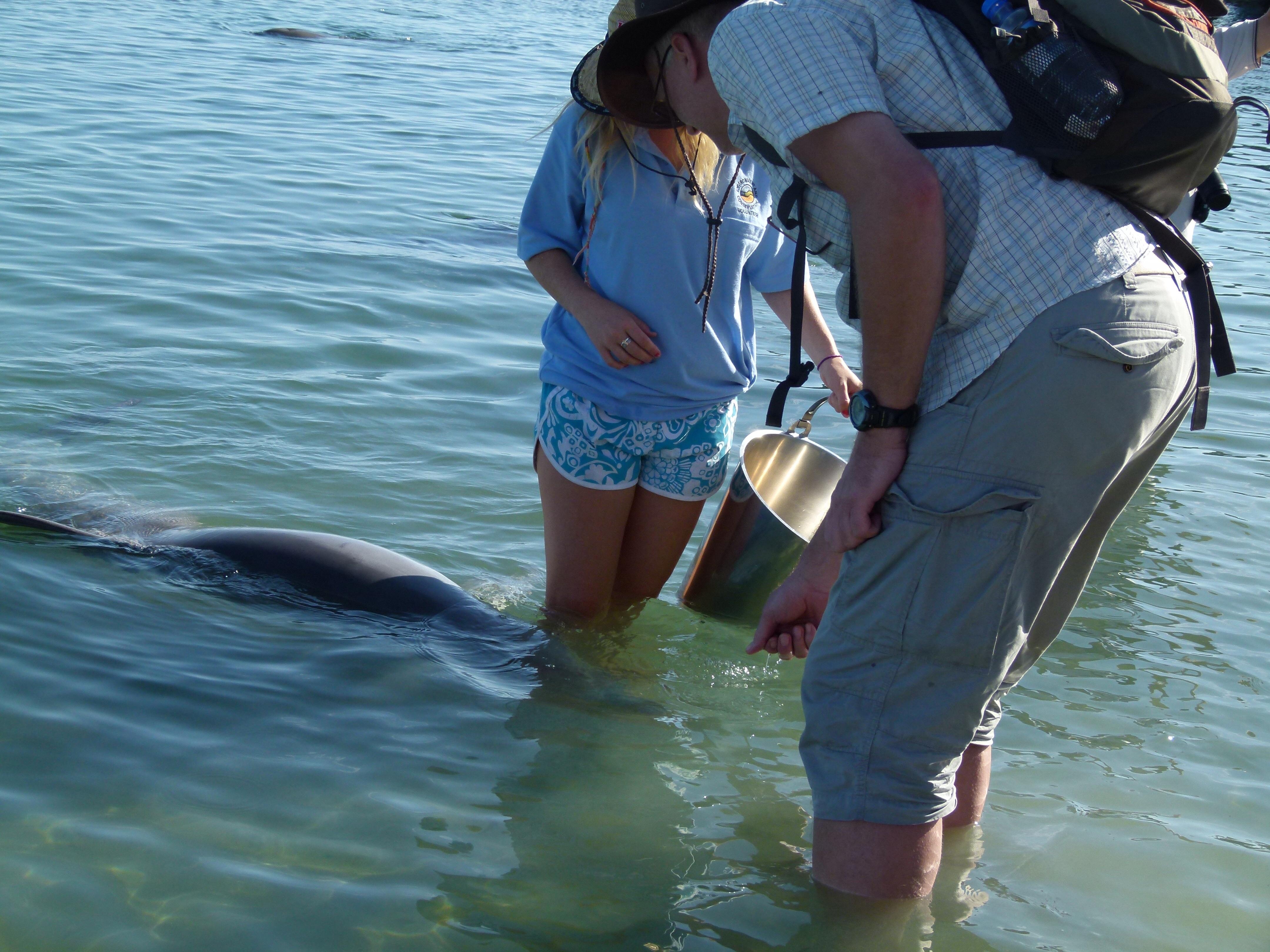 Delphin Fütterung in Monkey Mia