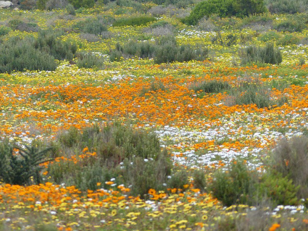 Blumenpracht im West Coast NP