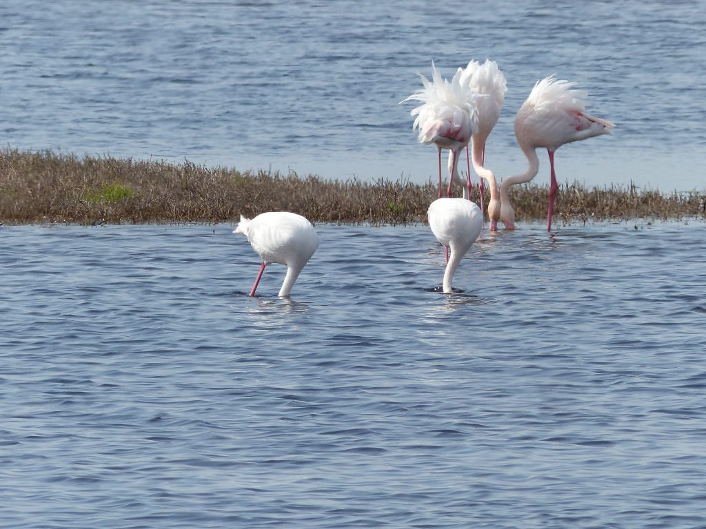 Flamingos in Lagune