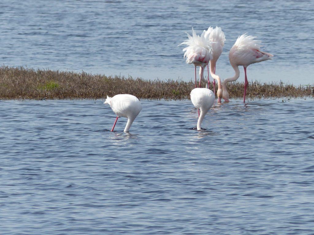Flamingos in Lagune