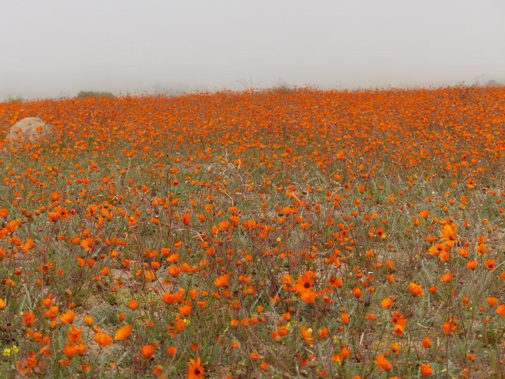 Blumen im Nebel, Namaqua