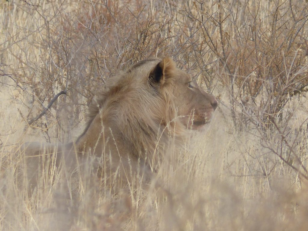 Löwe am Straßenrand