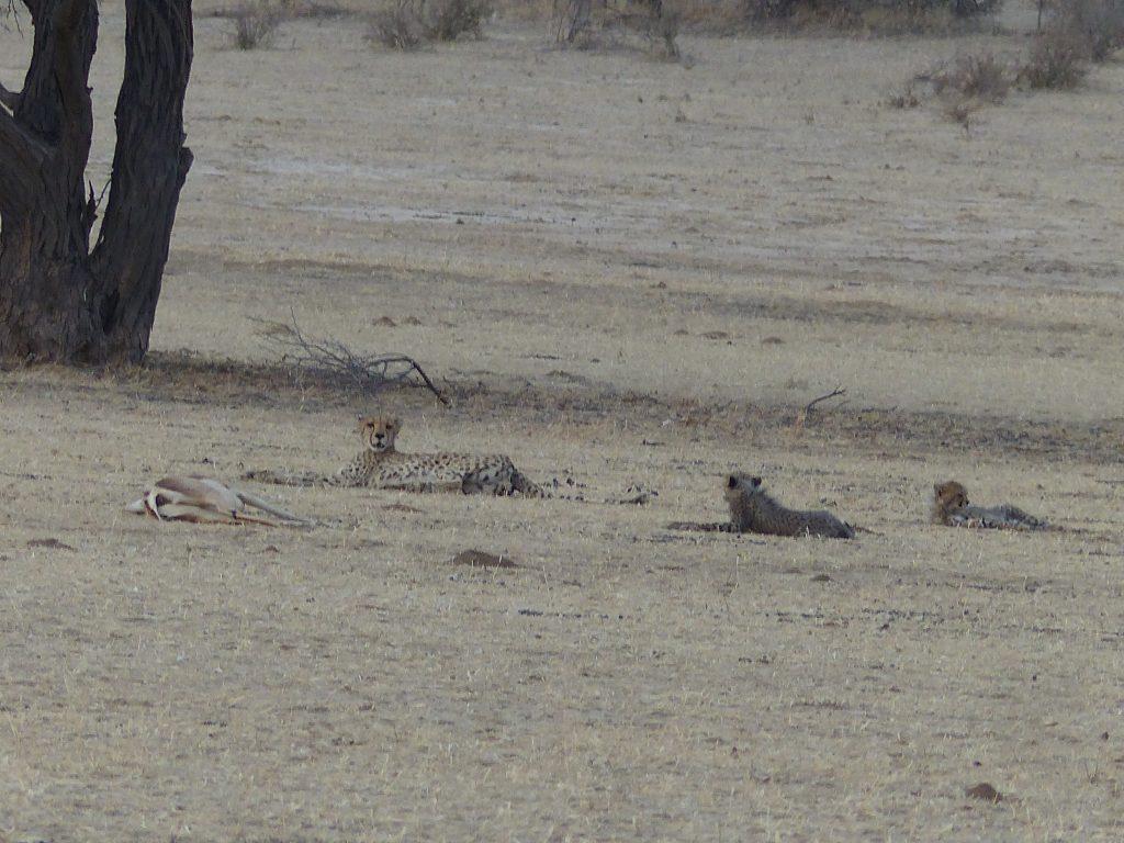 Gepardin mit Springbock