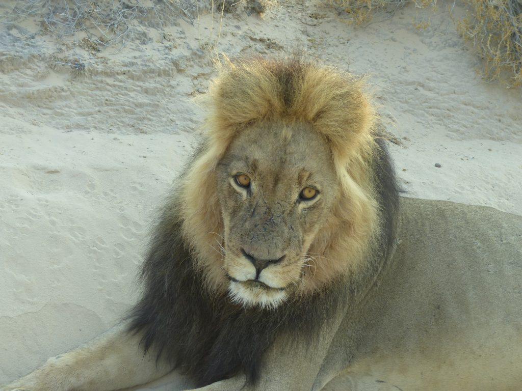 Löwe näher