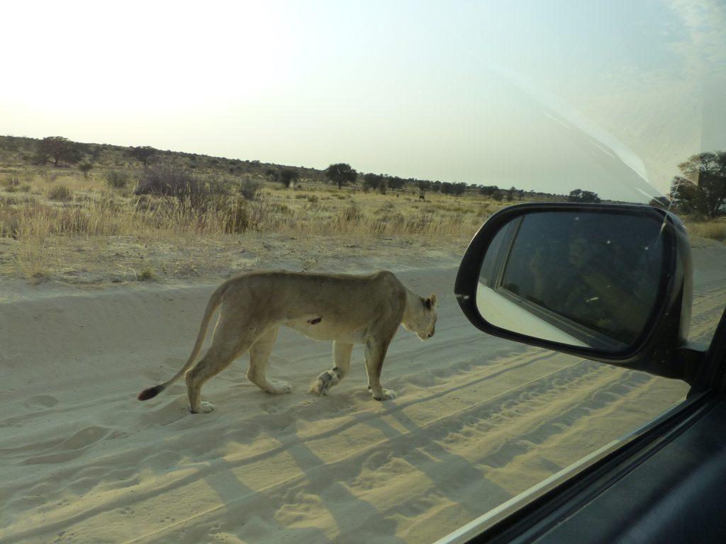 Löwin mit Verletzung