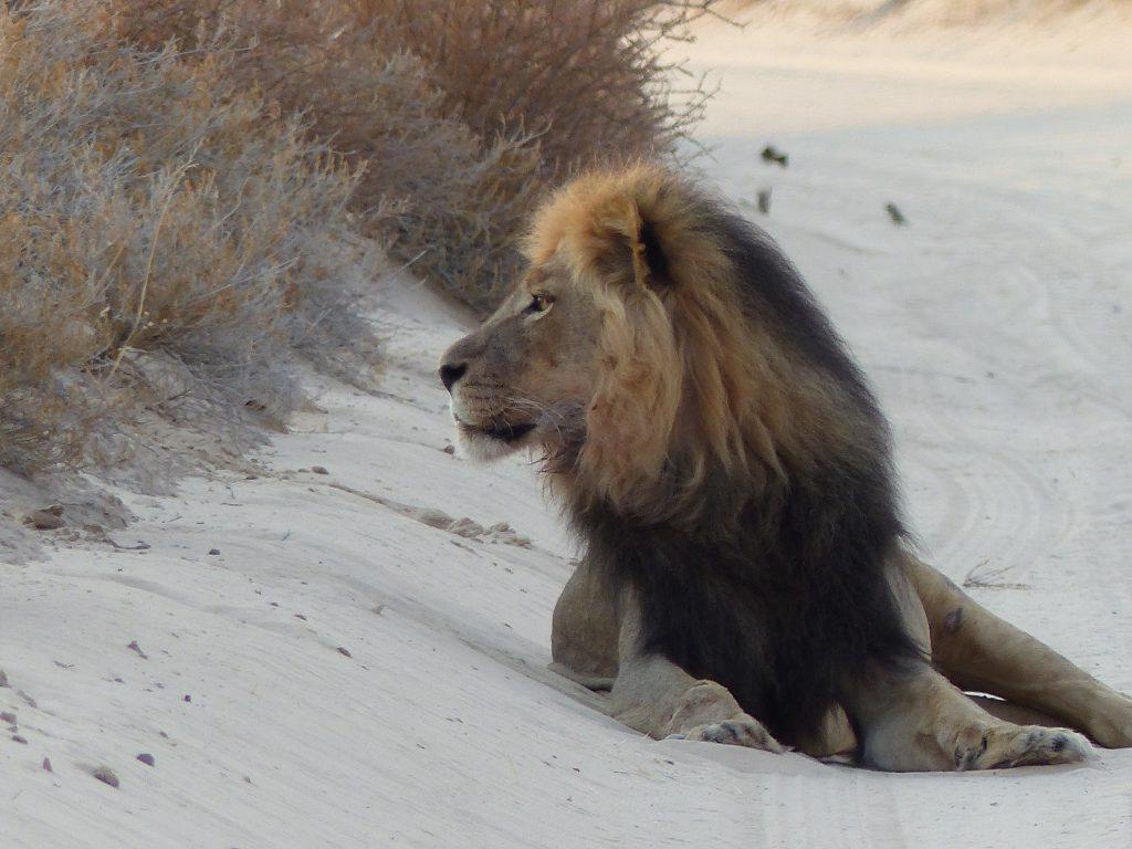 Löwe auf Pad