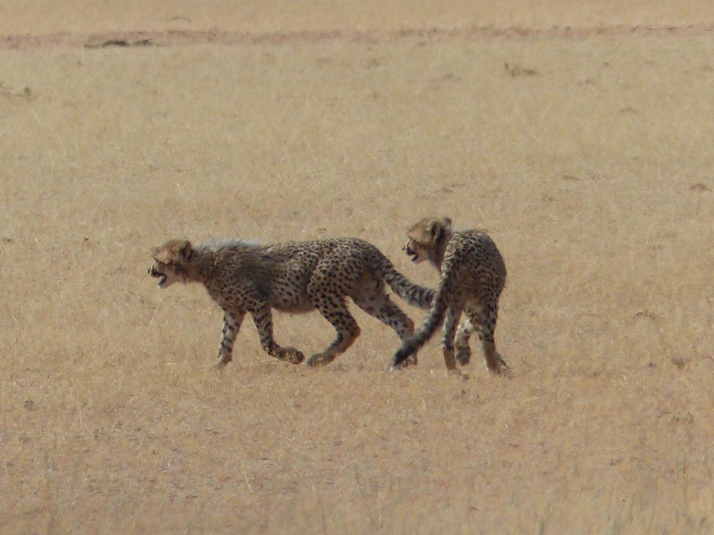 Geparden Junge