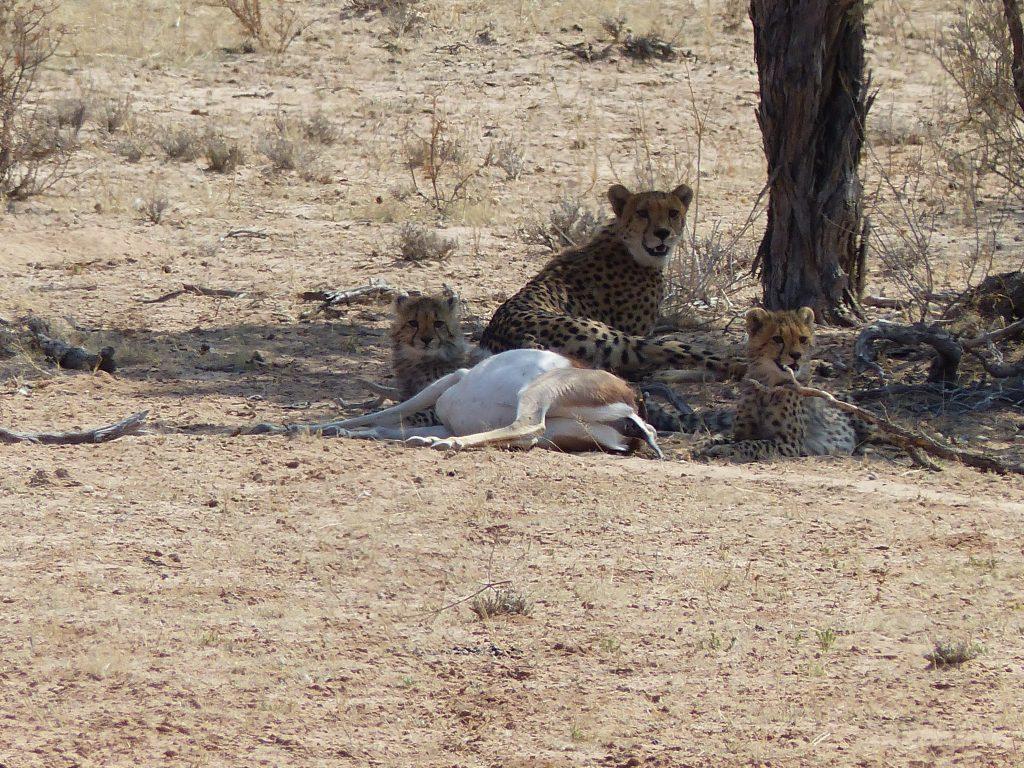 Nochmal Geparden