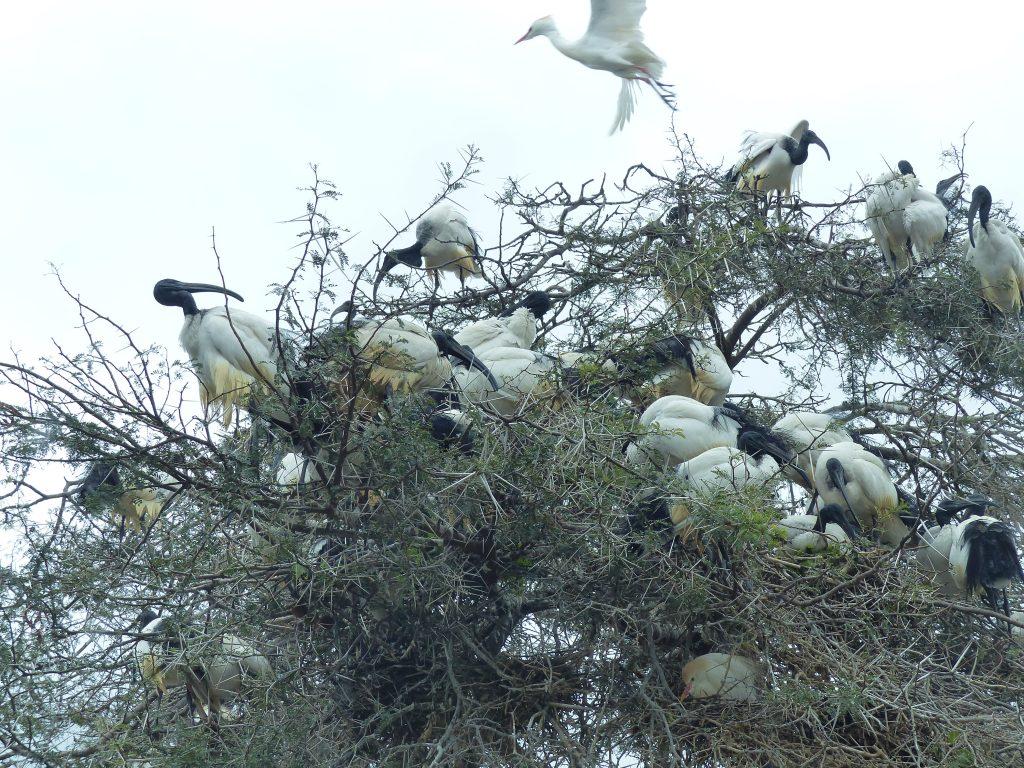 Baum voller Tukans in Montagu